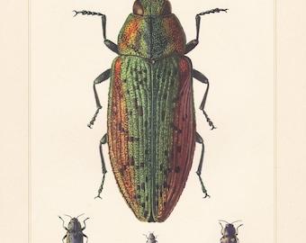 Vintage lithograph of metallic wood-boring beetles, jewel beetles lampra rutilans from 1955