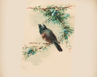 Bird With Blue Berries New 4x6 Vintage Postcard Image Photo Print FN23