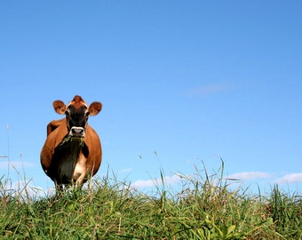 Brown Cow, Farm Photography, Vermont, Farm Animals, Nature Photography, Wall Art, Ready to Frame