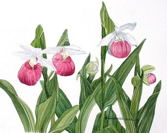 Pink  Lady Slipper Watercolor Reproduction