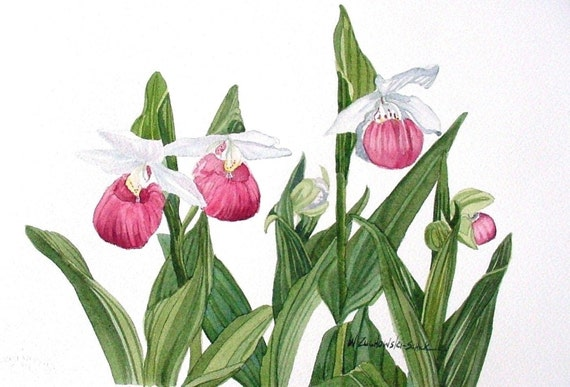 Pink lady slipper watercolor reproduction mightylinksfo