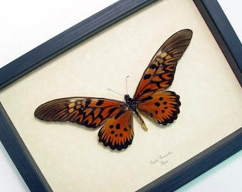 Real Framed Worlds Widest Wingspan Real African Butterfly Shadowbox Display 675