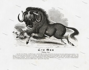 Authentic 1842 Natural History Print of Wilder Beast Large print-black and white