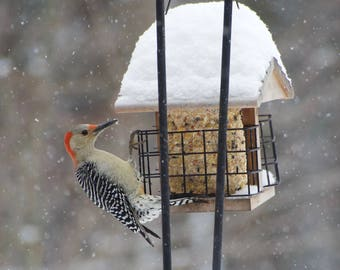 Red-Bellied Woodpecker Matted Print