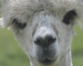 Greetings Card (large - A5) - Alpaca Photograph - birthday, hello, thankyou, good luck, congratulations
