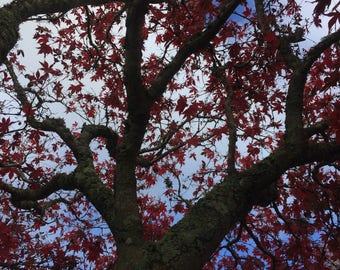 Nature - Photography - Tree - New Zealand - Red
