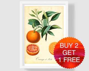 Orange Botanical Illustration, Vintage Orange Art Print, Orange Wall Art, Orange Art Poster, Orange Decor, Orange Copper Engraving, Poiteau