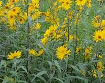 Sunflower-Maximillian- 100 seeds