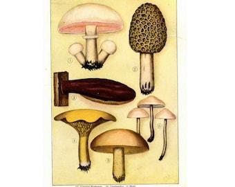 1911 MUSHROOM ANTIQUE LITHOGRAPH original antique fruit & vegetable food lithograph print - edible fungi mushroom