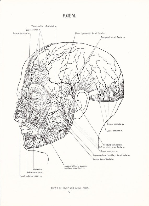 1926 Human Anatomy Print Nerves Of Face And Scalp Vintage