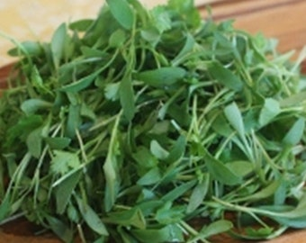 GOURMET CILANTRO GREENS  Micro Green  Large Container Salads Garnishes Tacos