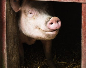 Animal Photography - Smiling Pig Fine Art Photograph - Happy Irish Pig Print