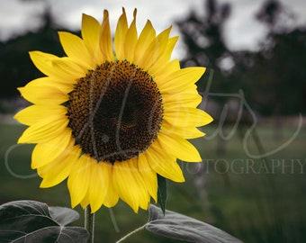 Sunflower- High Quality Landscape Nature Wildlife Garden Farm Flowers 5x7, 8x10, 11x14, 12x18, 16x20 and 18x24