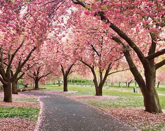 Cherry Trees Blossoms Photo Print Large Wall Art Pink Nursery Decor Pink White Yellow Green Oversized Print Spring Flowers Photography