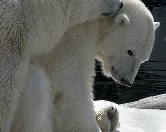 Winter art Polar Bear, Nature photography, Arctic animal, Wildlife Photography, Polar Bear Art, Nature Decor, Large Wall Art