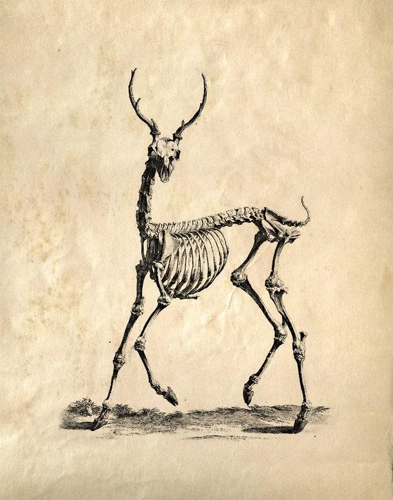 Vintage Science Animal Anatomy Study  Deer Skeleton