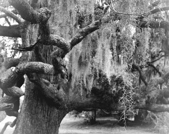 "Tree photograph, black and white, spanish moss, wall art -- ""Ancient Oak with Moss"", an 8x10-inch fine art photograph"