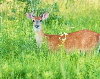 Deer Photography, White-tailed Buck Print, Wildlife Photography, Nature Photography, Deer Art, Wall Decor, Deer Lover Gift, Men's Gift