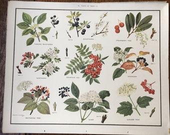 VINTAGE 1930's School Poster: TREES 3 Elder Hawthorn Dogwood Educational Print Nature Study Wildflowers Flowers
