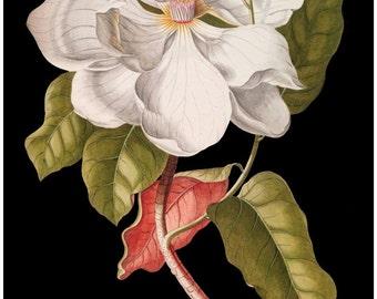antique white magnolia botanical print flower illustration digital download black background
