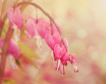Dreamy Spring Flower Photography - Bleeding Heart Morning - 8 x 12 fine art print - cream pink yellow bokeh cottage chic floral home decor