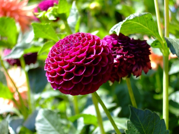 Dahlia--greeting card, photography, 5x7, signed, with envelope