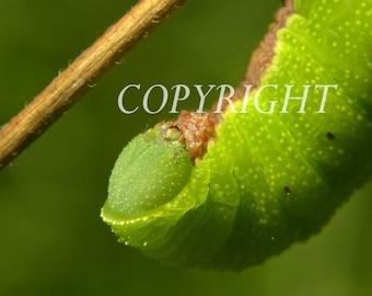 Sphynx gauze moth macro photo.