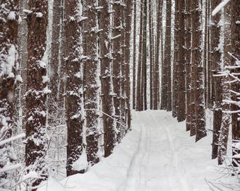 Red Pine Trees - Black and White or Color Print - New England Photography - Winter Snow and Trees - Nature Photography - Woods Fine Art