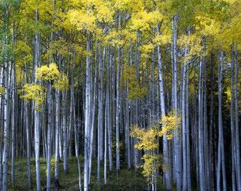 Aspen trees fall photo, Colorado aspen wall art, fall trees photo, log cabin decor, fine art photography, rustic wall art | Morning Forest