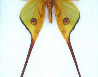 ONE Real Comet Moth Argema Mittrei male Wings Closed