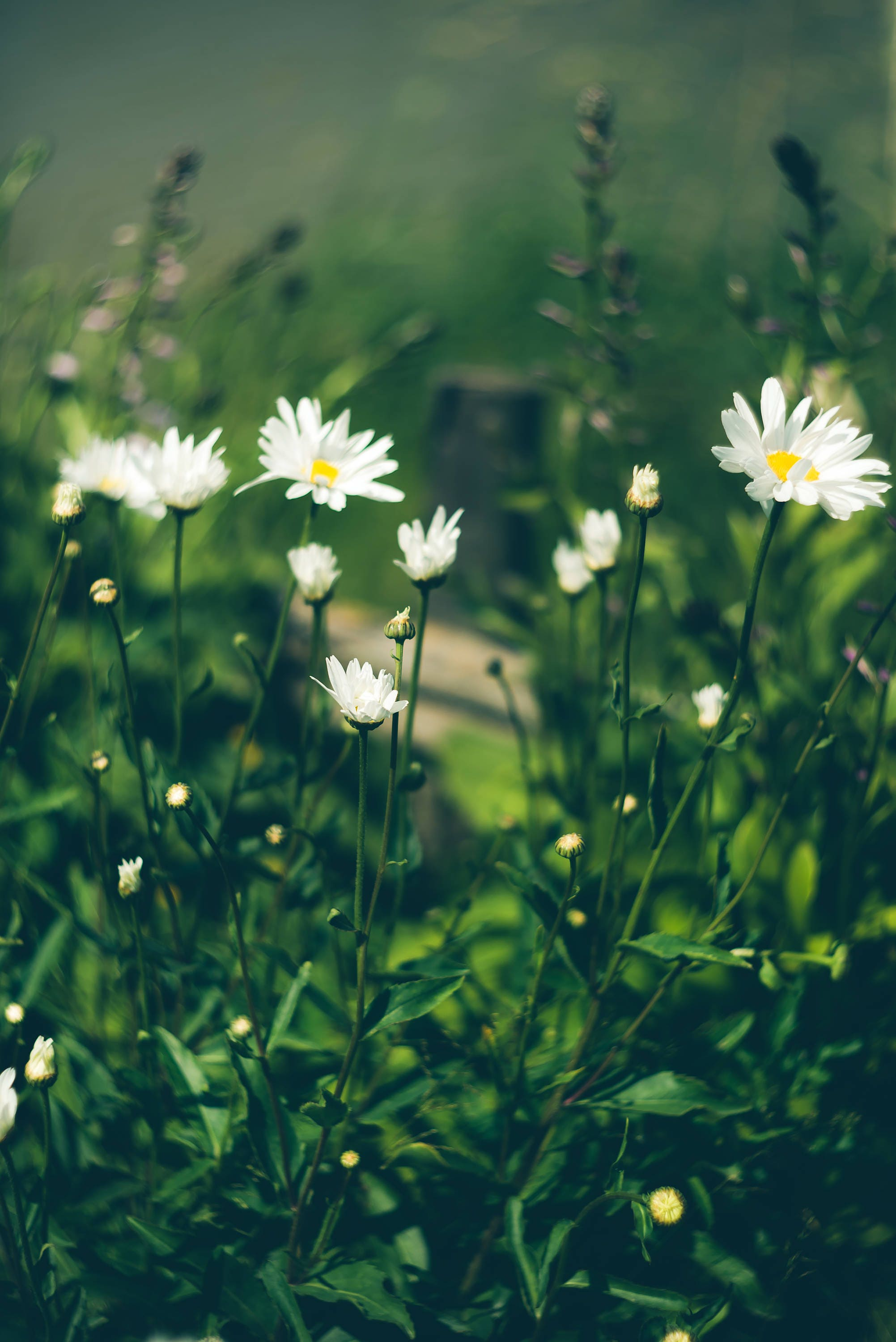 Daisy flowers photo meadow flower photography nature description izmirmasajfo
