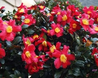 Red Yuletide Camellia 3 Gallon Plant