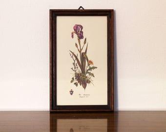 Vintage Flowers framed print iris chamaeiris botanical floral art illustration