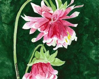 Columbine Flowers No. 1732  Double-flowering Columbine