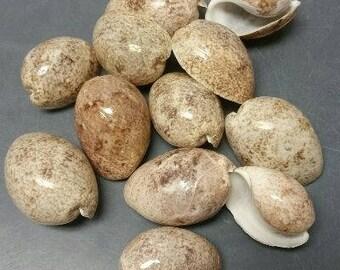 Bulla Ampula Seashells  (3 Shells)