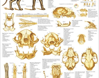 "Cat Skeletal Anatomy Poster Wall Chart - 18"" X 24"""