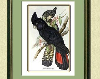 BANKSIAN COCKATOOS - Antique Bird Art Print Victorian art Old zoological prints Vintage prints Wall Art