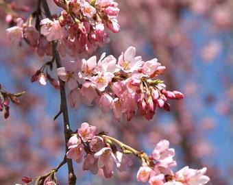 Pink Cherry Blossom Art Print, Nature Photography Blue Flower Cherry Tree Spring Decor Zen Wall Art Wall Decor