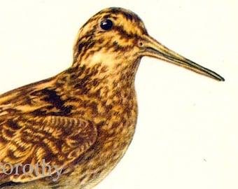 Jack Snipe Lymnocryptes Minimus Bird European Ornithology Vintage Natural History Lithograph Print 1960s Illustration To Frame 44