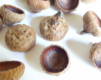 50 Unfinished Medium Oak Acorn Caps H14