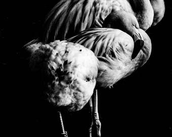 Flamingoes - A6 Postcard
