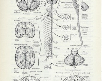 Human Anatomy Brain and Spinal Cord - Vintage Medical Anatomy Illustration to Frame or for Paper Arts PSS 1792
