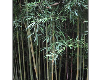 Stand of Bamboo