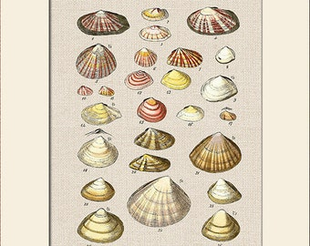 Sea Shell Print, Plate 3, George Sowerby, Art Print with Mat, Note Card, Natural History Illustration, Wall Art, Nautical Art, Costal Decor
