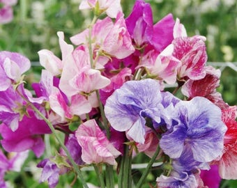 Sweet pea UNWIN'S STRIPED gardening flower seeds/2 g aprox. 24 seeds/best before 2020