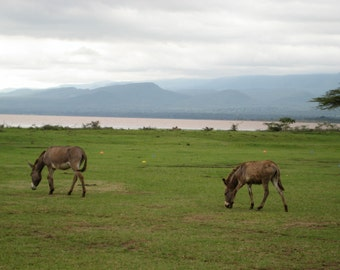 African Landscape, Wanderlust Home Decor, Donkeys Grazing, International Travel, Ethiopia Landscape, 8x10 11x14 16x20 Photograph