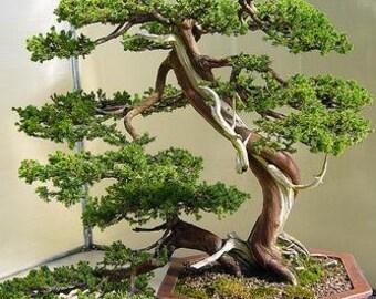 Bonsai Tree Growing Kit - Japanese Bansai Seed Starter Kit - Seeds, Greenhouse Dome, Instructions - Great Gift Idea
