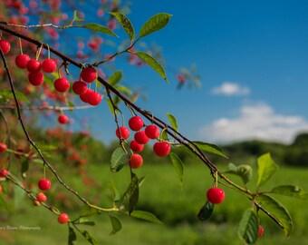"Cherry Branch Print, Cherry Orchard Print, Cherries, Cherry Art, ""Cherries on the Branch"""