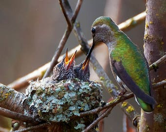 Hummingbird Image, Nesting Hummingbird, Hummingbird Feeding Chicks,