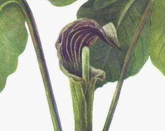Jack In A Pulpit Flower Vintage 1955 Botanical Lithograph Art  Print To Frame 15